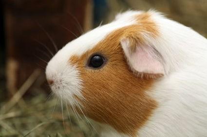 versus,guinea pigs,winner,squee spree,squee
