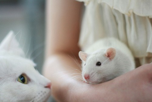 rats,Interspecies Love,Cats,squee,whiskers