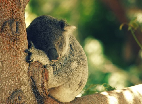 tree huggers koalas squee sleeping