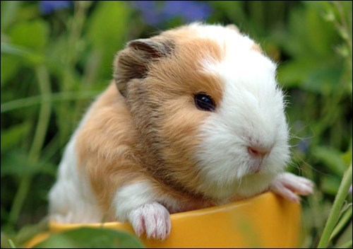 Babies guinea pigs puppies squee spree squee - 6788644864