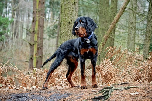dogs gordon setter birds goggie ob teh week hunting dog - 6788950272