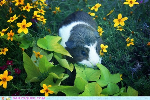 reader squee guinea pigs flowers pet squee - 6788957184