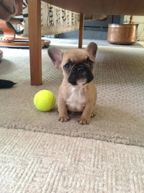 dogs puppy tiny french bulldogs tennis ball cyoot puppy ob teh day - 6788959744