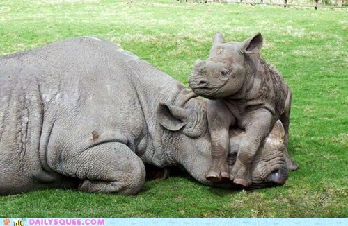 Babies rhinoceros mama squee sleeping playing - 6792146944