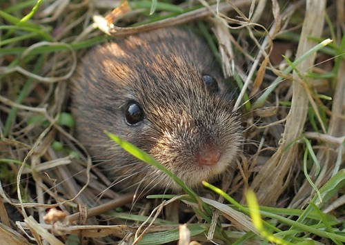 peekaboo bank vole squee whiskers - 6792473856