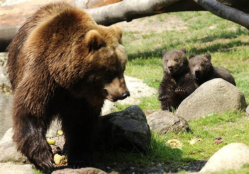 Babies bears mama grizzly bear cubs squee