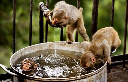 monkeys,water,bath,squee