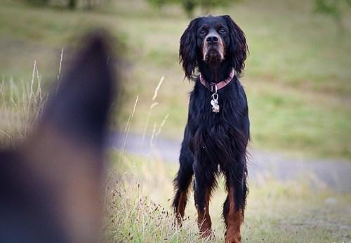 dogs gordon setter setters goggie ob teh week - 6792858368