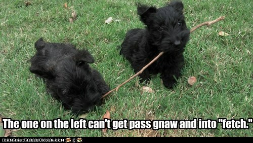 fetch stick dogs puppies what breed gnaw