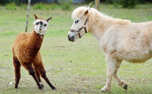 dancing ponies Interspecies Love squee alpacas - 6795528704