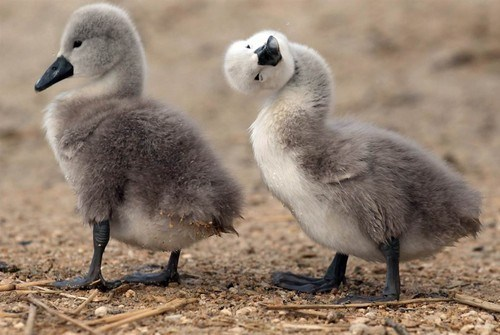 Babies birds cygnets swans ugly duckling squee - 6795549440