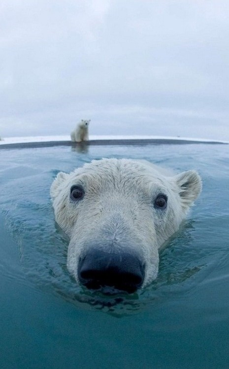 polar bears swimming close up ice squee spree squee delightful insurance - 6795555072