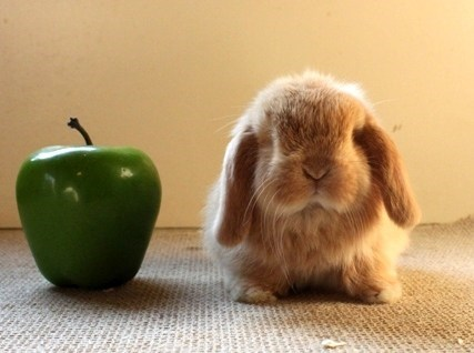 Bunday mini lop rabbit apple bunny squee - 6795940608