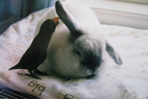 Bunday whispering bird rabbit bunny squee parrot - 6795999232