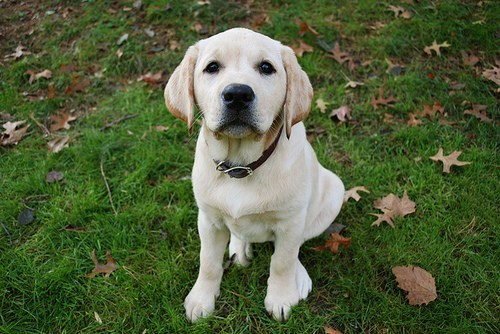 dogs puppy golden lab cyoot puppy ob teh day