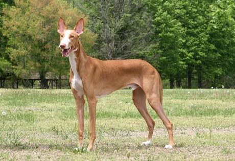 ibzian hound dogs versus goggie ob teh week face off - 6796430848