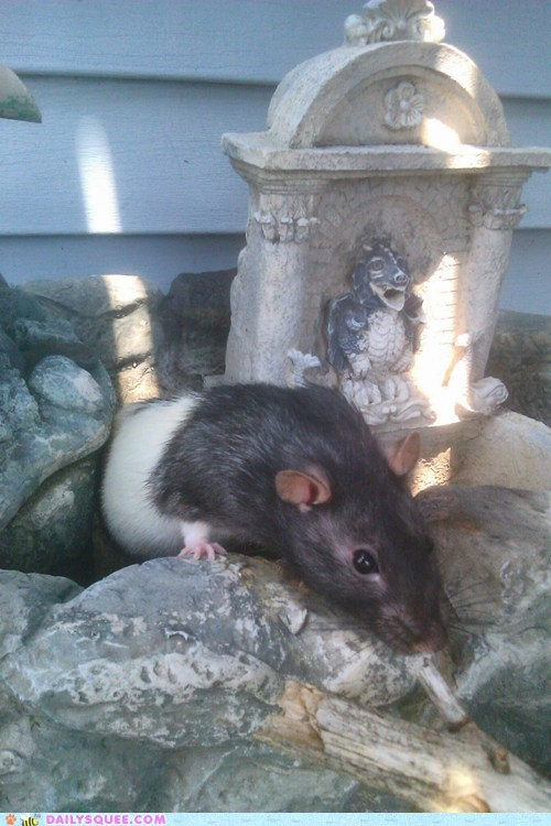 rats,reader squee,pets,outside,squee,playing