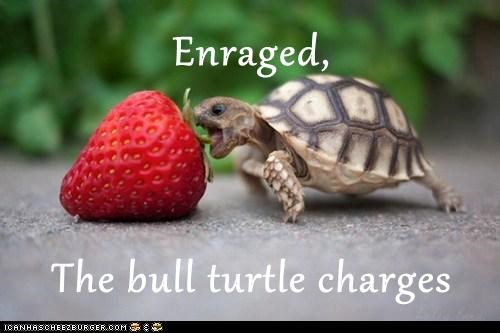 enraged,turtles,charging,bull,strawberry,eating,fruit