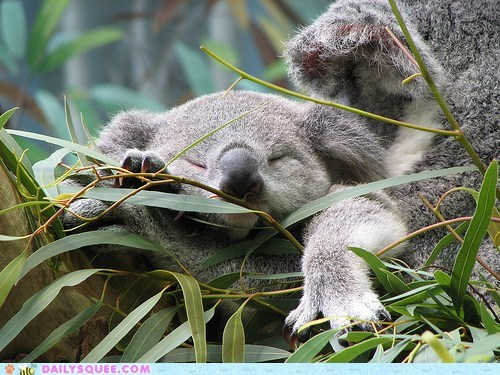 tired,koalas,squee,sleeping