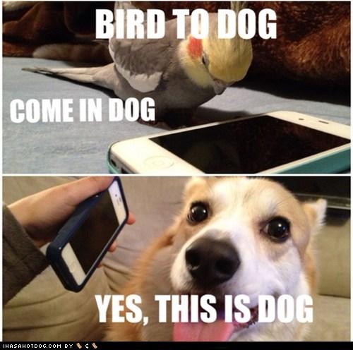birds yes this is dog phone corgi iphone - 6812309504