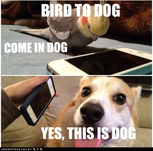 dogs birds yes this is dog phone cockatiel corgi iphone - 6812309504