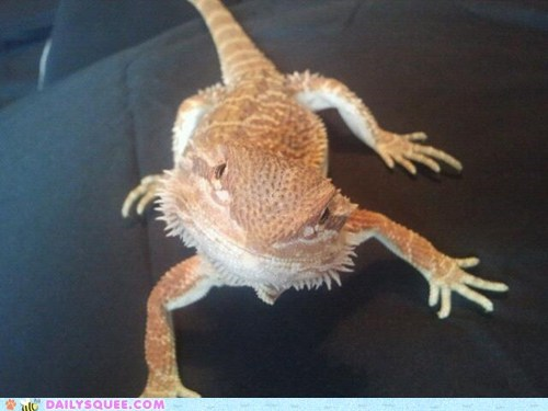 reader squee bearded dragon pet lizard squee - 6813030656