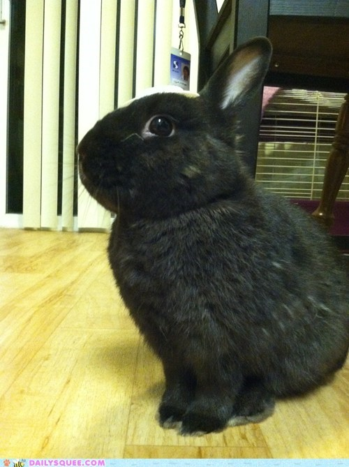 Bunday reader squee pet rabbit bunny squee - 6813207296