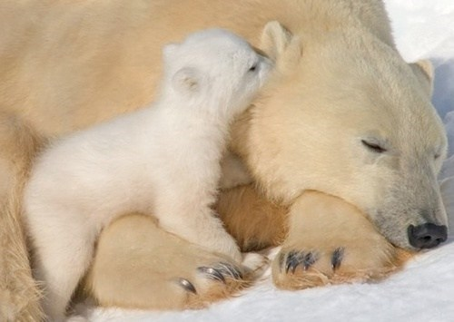 baby wake snow polar bears mommy cubs squee - 6813394944