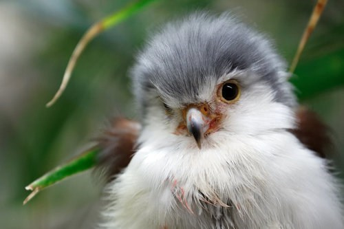 birds floofy squee falcon - 6813396224
