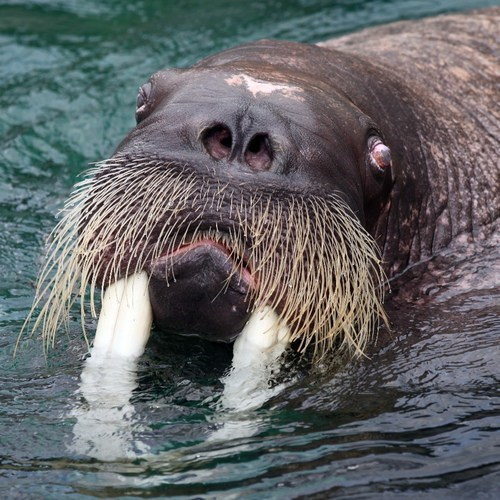 walruses pun squee whiskers tusks - 6813402112