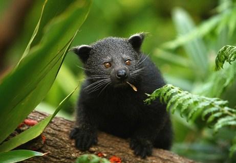 scent,bearcat,Popcorn,binturong,squee spree,squee