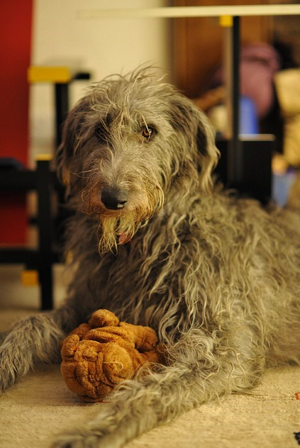 goggie ob teh week hunting dog scottish deerhound - 6813644032