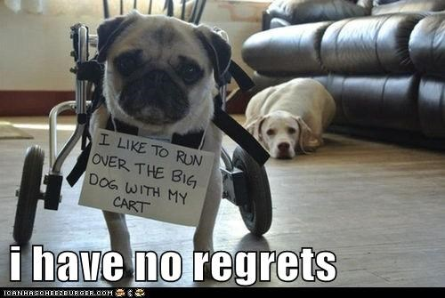 regrets,dogs,labrador,pugs,wheelchair,dog shaming