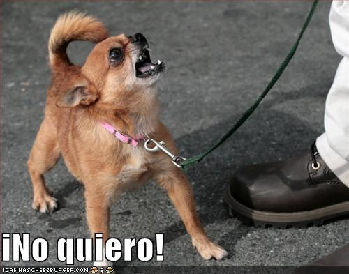 chihuahua do not want - 681516800