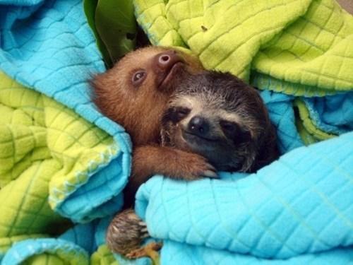 Babies snuggle hugs sloths squee - 6815364608