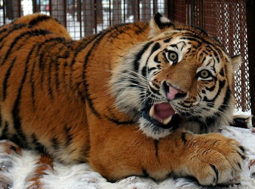 tigers silly big cats squee derp - 6815402496