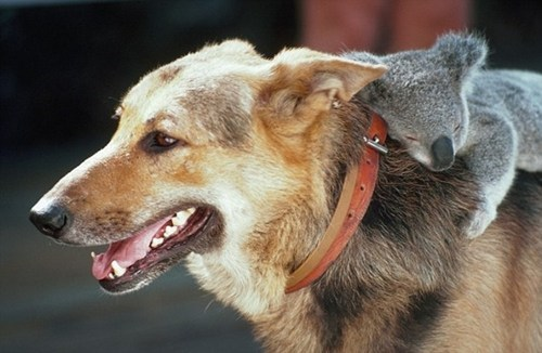 dogs piggy back hang on Interspecies Love koalas squee - 6815470080
