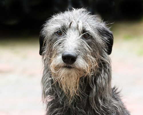 united kingdom dogs goggie ob teh week scotland queen victoria scottish deerhound