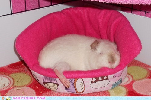 princess bed reader squee guinea pig pet squee sleeping - 6816286976