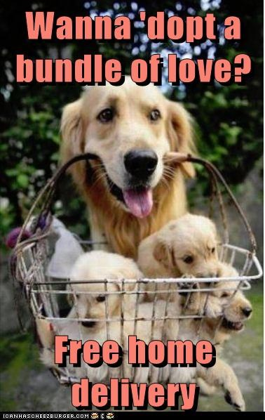 dogs adoption puppies golden retriever basket delivery