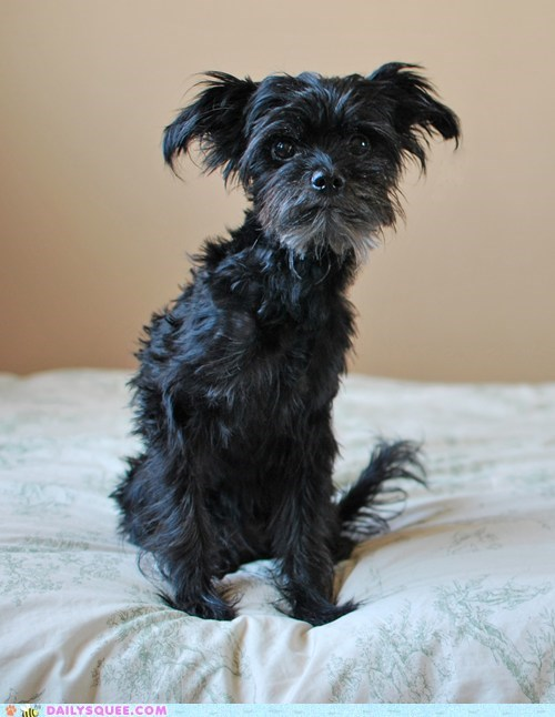 dogs reader squee pets affenpinscher squee - 6817302016