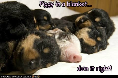 Piggy in a blanket... doin it right!