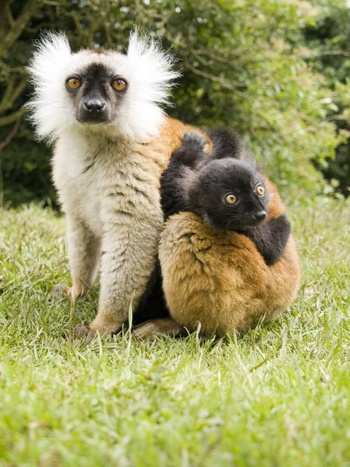 Babies,floof,lemurs,mommy,mutton chops,hairdo,squee