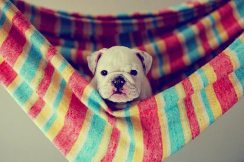 dogs,hammock,puppy,bulldog,puppies,cyoot puppy ob teh day