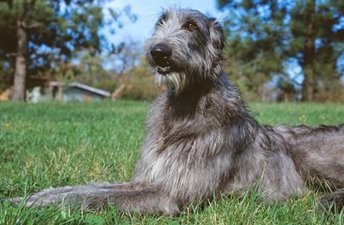 dogs Gentle Giant goggie ob teh week scottish deerhound