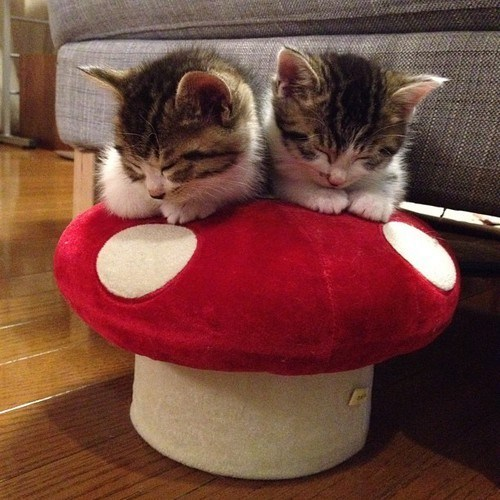 cyoot kitteh of teh day,kitten,toadstools,mushroom kingdom,Cats,sleeping,mario