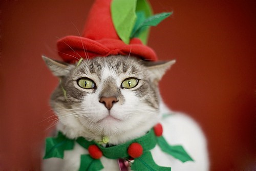 misteltoe,cyoot kitteh of teh day,christmas,hats,dressed up,Cats