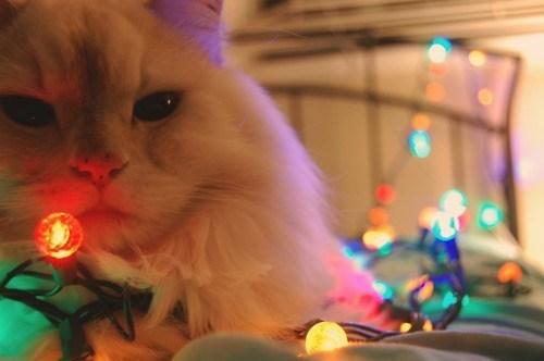 cyoot kitteh of teh day christmas lights christmas lights Cats - 6819485184