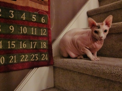 cyoot kitteh of teh day,christmas,advent calendars,nekkid,stairs,Cats,hairless
