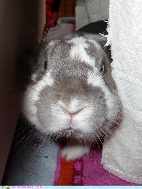 Bunday reader squee pet rabbit bunny squee - 6823297792